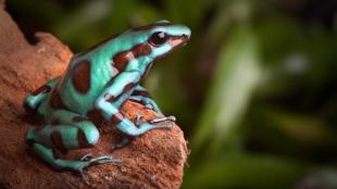 Nyílméregbéka – a színes famászó