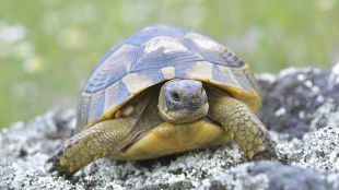 Akár 100 éves barátság: hogyan éljünk görög teknősünkkel?