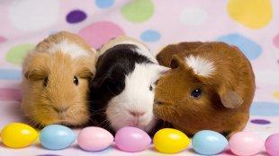 Húsvéti ajándékötletek rágcsálódnak