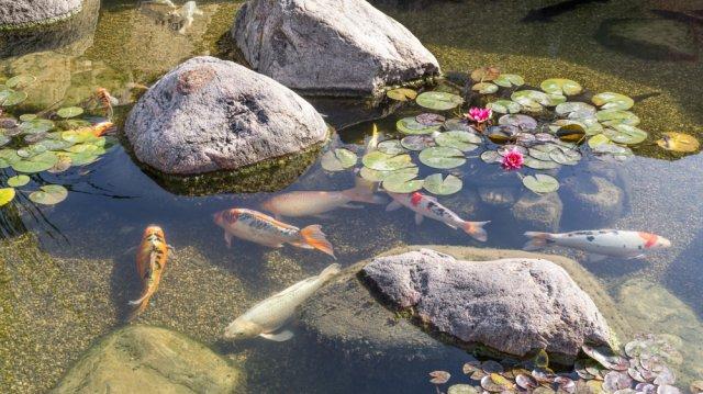 A kerti tó nyári karbantartása