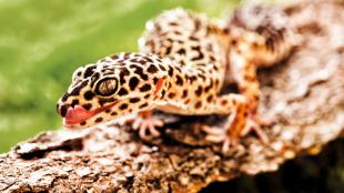 A leopárdgekkók gondozásának alapjai